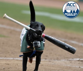 Bat dog Miss LouLou Gehrig does her job at the ACC tournament in North Carolina.