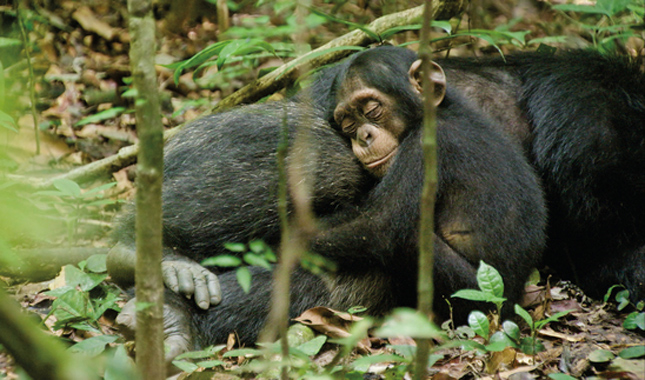 Disneynature Chimpanzee movie