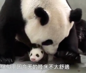 A panda cub is reunited with her mom at the Taipei Zoo.