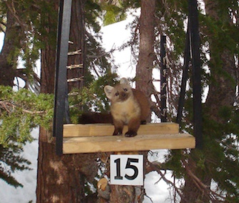 An adorable marten takes its own photo with a motion-sensitive camera.