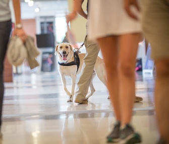 A scent-detection dog trains at the student center at Auburn University.