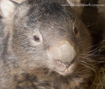 Patrick the wombat turned 29 years old Sunday.