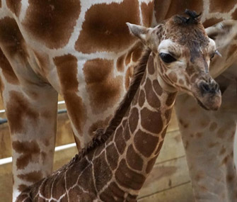 Baby giraffe debuts at Como Zoo