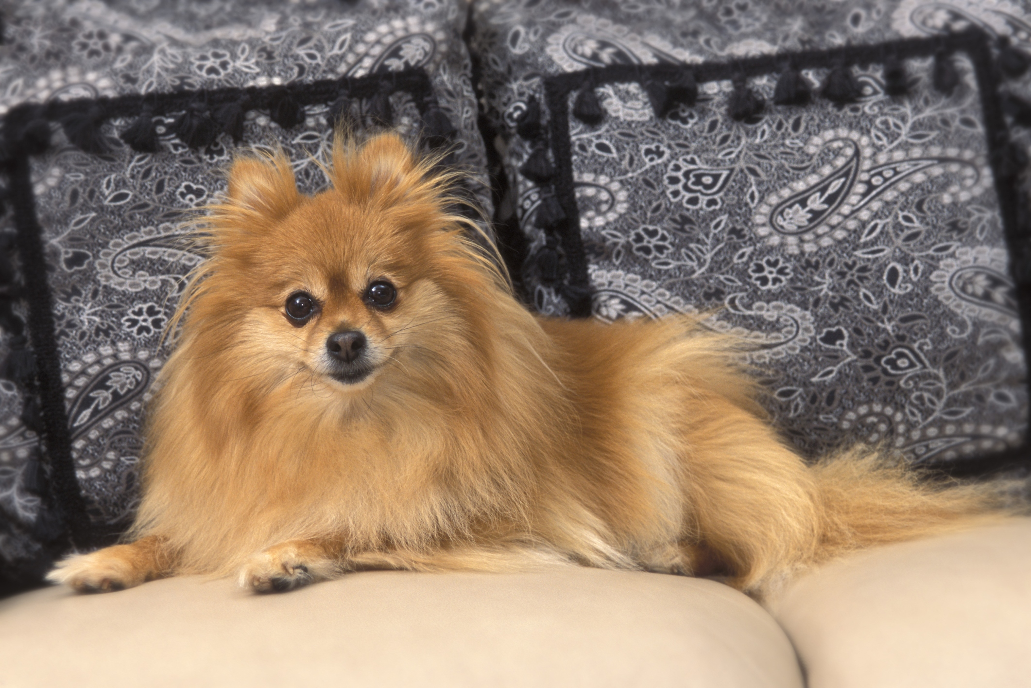 Pomeranian dog on a sofa