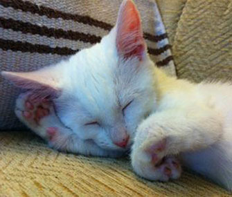Harvey the kitten will undergo surgery to correct his paws.