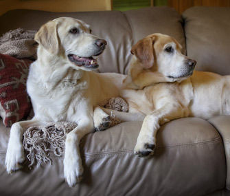 Two Labs on Couch