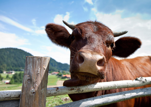 close up of cow at fence
