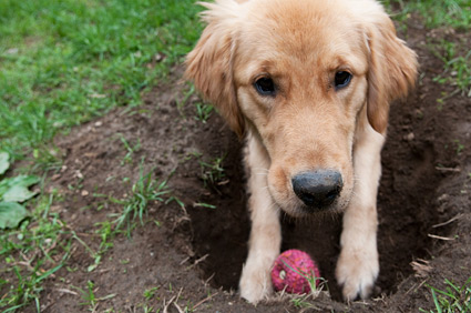 Dog with hole in yard.