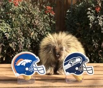 Teddy Bear the talking porcupine makes his Super Bowl prediction.