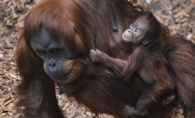The Chester Zoo's baby Sumatran orangutan, Tripa.