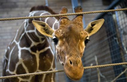 Marius the Giraffe Copenhagen Zoo