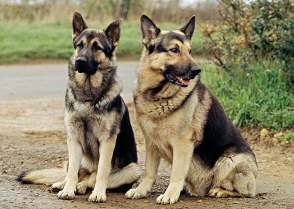Two German Shepherds outside