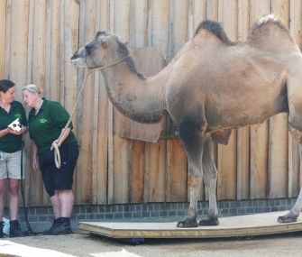A camel is weighed by keepers at the London Zoo.