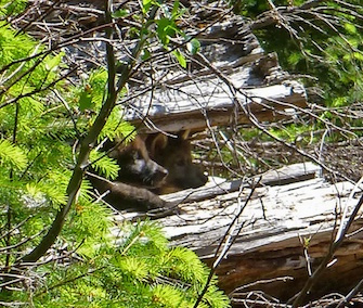 Two of wolf OR-7's pups peek out from a log on the Rogue River in Siskiyou National Forest in Oregon.