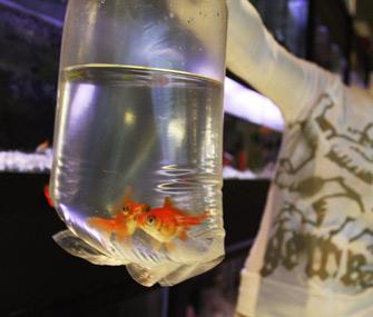 Goldfish prize