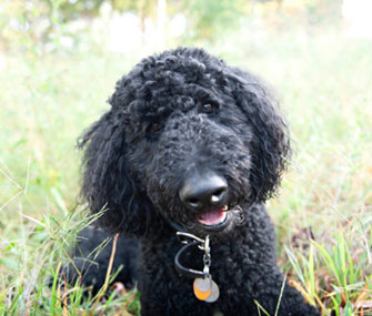 Black Standard Poodle in Grass