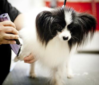 Shaving Dog