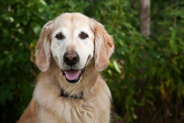 Close up of smiling senior Golden Retriever
