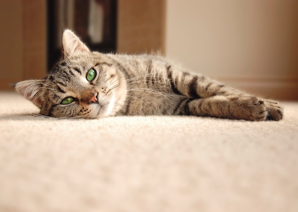 How To Get Pet Stains Out Of Carpet