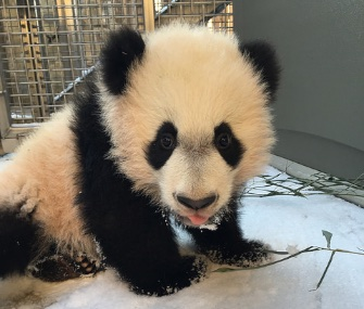 The National Zoo's 5-month-old panda cub, Bei Bei, checks out snow for the first time.