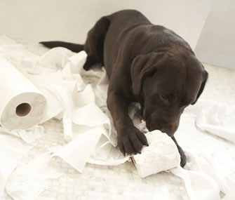 Lab Puppy Chewing