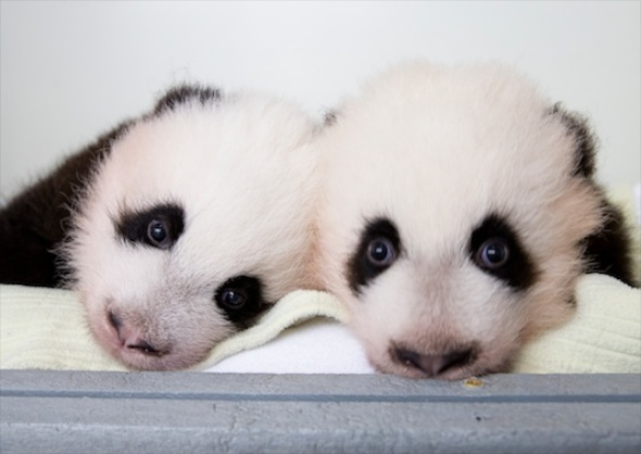 Zoo Atlanta's twin panda cubs