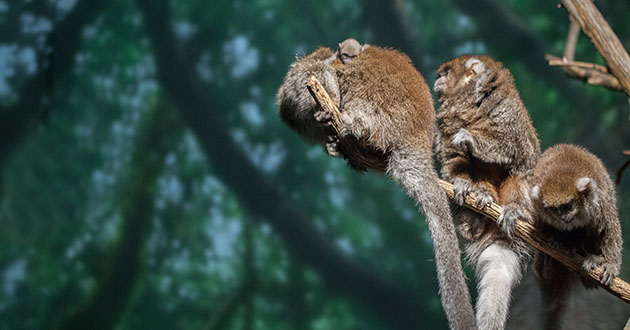 A family of Bolivian gray titi monkeys sits together on a tree branch at the Lincoln Park Zoo.