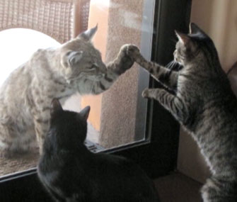 Housecats play with a bobcat through a glass door