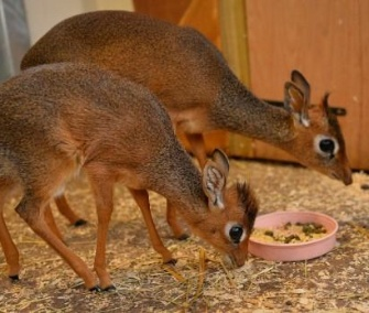 Neo, a 1-month-old mini dik-dik, bonds with his big sister, Aluna.