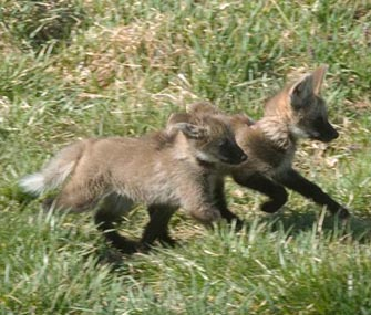 National Zoo Wolf Pups