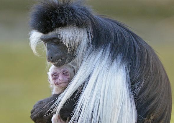 Tampa's Lowry Park Zoo Colobus Monkey