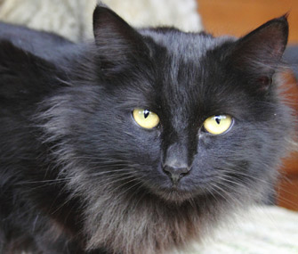 Different Types Of Black Cat Breeds