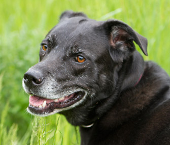 Senior dog portrait