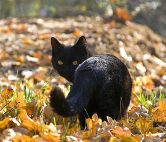Black cat in woods