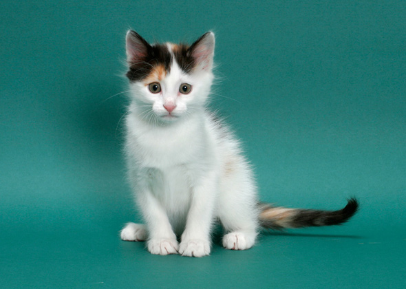 Turkish Van, a cat breed you've probably never heard of
