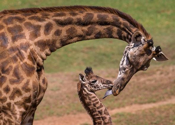 San Diego Zoo Safari Park Masai Giraffe calf