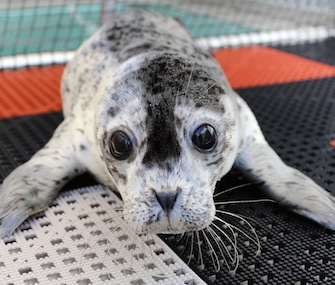 Dusky, a harbor seal pup, was found injured and abandoned in Alaska last month.