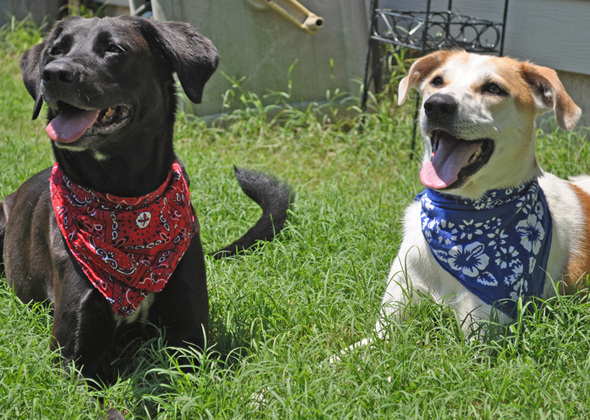 Patriotic dogs wearing bandanas