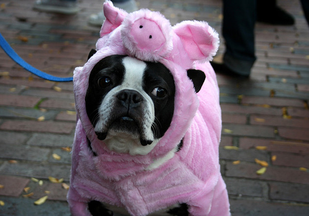 dog dressed up as a pig