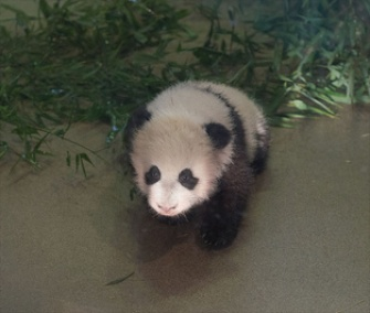 Bao Bao, the baby panda at the National Zoo, has been showing off her sweet tooth.