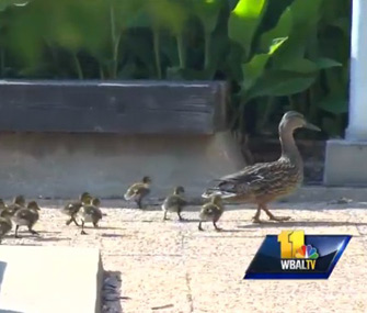 Ducks take up residency at hospital