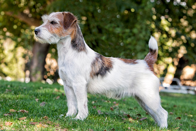Russell Terrier Breeds