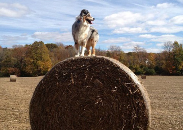 Dog on bale of hay