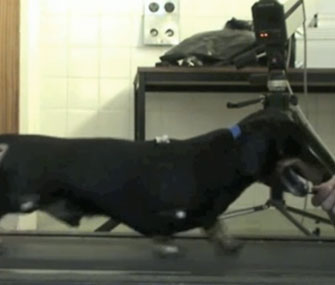 Jasper, a 10-year-old dog, regained the use of his hind legs after a nose cell transplant.