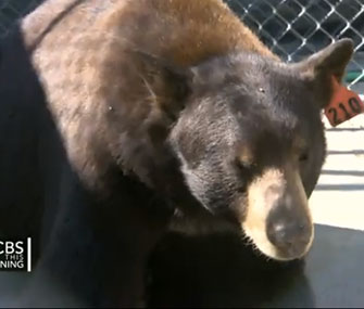 Meatball is a celebrity at the Lions Tigers & Bears sanctuary outside San Diego.