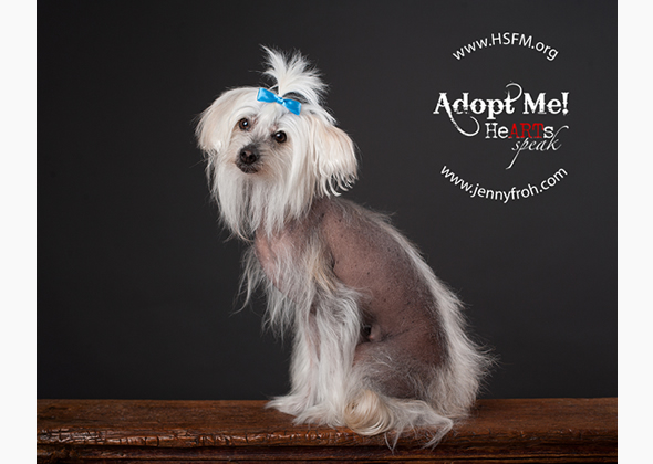 adoptable chinese crested