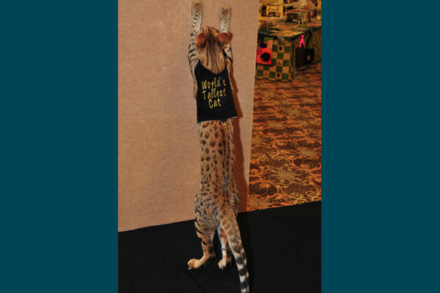 Savannah Islands Trouble, the World's Tallest Cat