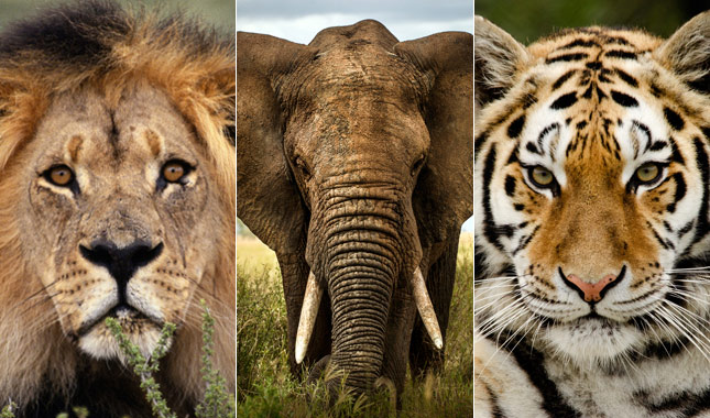 Lion, elephants, tigers and other large animals could be extinct by 2100