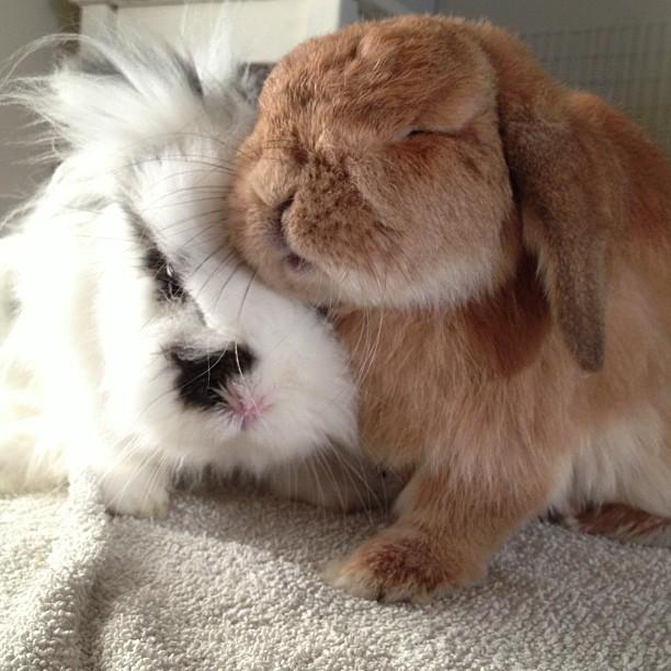 bunnies snuggling