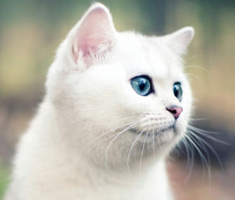 White Cat Blue Eyes Breed